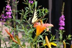 Tiger Swallowtail Fotografía de archivo libre de regalías