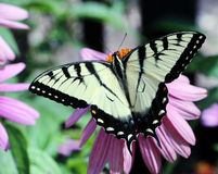 Tiger Swallowtail Foto de archivo