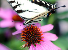 Tiger Swallowtail Imagen de archivo