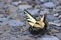 Tiger Swallowtail Royaltyfri Foto