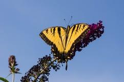 Tiger Swallowtail Stock Foto