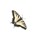Tiger Swallowtail. Butterfly isolated on white Stock Photo