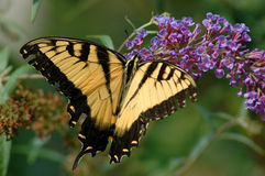 Tiger Swallowtail. Yellow Tiger Swallowtail butterfly eating nectar Royalty Free Stock Photography
