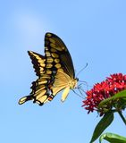 Tiger Swallowtail Photographie stock libre de droits