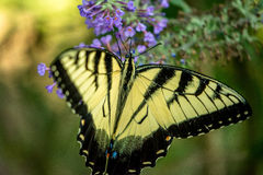 Tiger Swallowtail Royalty-vrije Stock Afbeelding