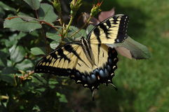 Tiger Swallowtail Photo stock