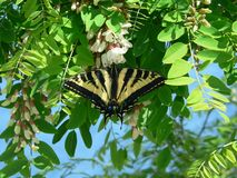 Tiger Swallowtail. A swallowtail on a black locust tree stock images