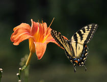 Tiger Swallowtail. Brightly orange and yellow colors of flowers and butterflies Royalty Free Stock Images