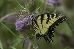Tiger Swallowtail Buterfly Images stock