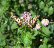 Tiger Swallowtail Butterflies Stock Image