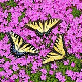 Tiger Swallowtail Butterflies au phlox de rampement photographie stock