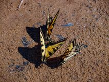 Tiger Swallowtail Butterflies oriental fotos de stock royalty free