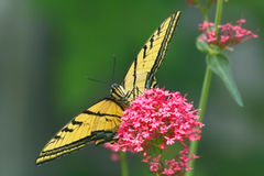 Tiger swallowtail butterfly. On pink flower Royalty Free Stock Photography