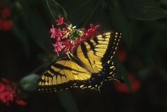 Tiger Swallowtail butterfly. Large Tiger Swallowtail butterfly (Papilio glaucas) sips nectar from star flowers (Pentas) photographed in Orlando, Florida stock photo