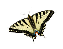 Tiger Swallowtail butterfly. Isolated on white with clipping path stock photos