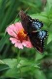 Tiger Swallowtail butterfly balanced on a pink zinnia bloom. A black-type female Tiger Swallowtail butterfly stops to feed on a pink zinnia flower amid a verdant stock photography