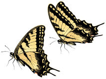 Tiger Swallowtail Butterfly. Black yellow tiger swallowtail, big machaon butterfly illustration Royalty Free Stock Image