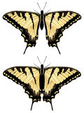 Tiger Swallowtail Butterfly. Black yellow tiger swallowtail, big machaon butterfly illustration Stock Photo
