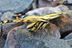 Tiger Swallowtail Butterfly. Black and yellow Tiger Swallowtail butterfly close-up Stock Photography