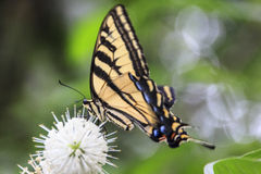Tiger Swallowtail Butterfly Royalty Free Stock Photography