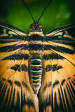Tiger swallowtail butterfly close up Stock Image