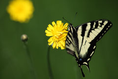 Tiger Swallowtail butterfly Stock Images