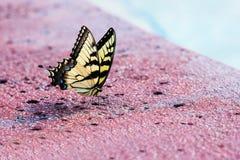 Tiger Swallowtail Butterfly del este foto de archivo libre de regalías