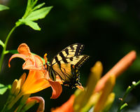 Tiger swallowtail butterfly Royalty Free Stock Images