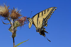 Tiger Swallowtail Butterfly Feeding Royalty Free Stock Photos