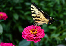 Tiger Swallowtail Butterfly feeding on Flower. Tiger swallowtail feeding on small zinnia flower bloom stock image