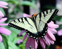 Tiger Swallowtail Stock Photo