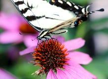 Tiger Swallowtail Stock Image