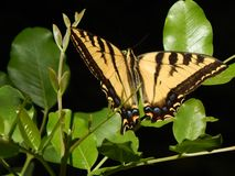 Tiger Swallowtail Butterfly géant sur la haute résolution verte de feuilles photo stock