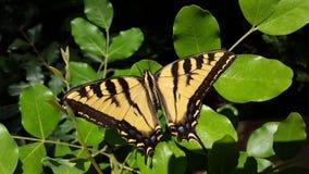 Tiger Swallowtail Butterfly géant sur la haute résolution verte de feuilles photo libre de droits