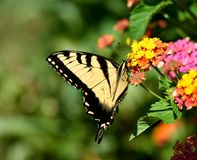 Tiger Swallowtail Butterfly  Stock Photography