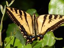 Tiger Swallowtail Butterfly gigante en la alta resolución verde de las hojas foto de archivo