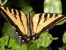 Tiger Swallowtail Butterfly gigante en la alta resolución verde de las hojas imagen de archivo