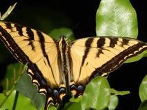 Tiger Swallowtail Butterfly gigante na alta resolução verde das folhas foto de stock royalty free