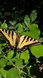 Tiger Swallowtail Butterfly gigante na alta resolução verde das folhas imagem de stock royalty free