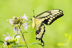 Tiger Swallowtail Butterfly. This image of a Tiger Swallowtail Butterfly was captured at Lincoln Memorial Gardens near Springfield, Illinois. The photograph was royalty free stock images