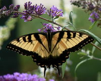 Tiger swallowtail butterfly lands in the gardens for a visit. Royalty Free Stock Photography