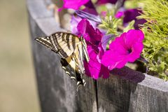 Tiger Swallowtail on a Pink Flower. A tiger swallowtail butterfly lands on a pink petunia in a backyard garden royalty free stock images