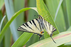 Tiger swallowtail butterfly and leaves Royalty Free Stock Photo