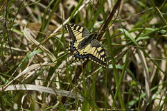 Tiger Swallowtail Butterfly,  Mahaon or  Papilio on a new and dry plant, Plana mountain Stock Photo