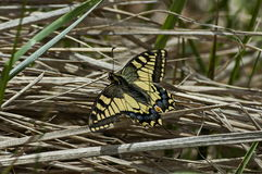 Tiger Swallowtail Butterfly,  Mahaon or  Papilio on a new and dry plant, Plana mountain Stock Image