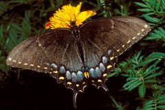 Tiger Swallowtail Butterfly on Marigold Stock Photos