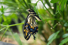Tiger Swallowtail Butterfly. A Tiger Swallowtail Butterfly, within minutes of it emerging from its cocoon, in a green parsley garden royalty free stock image
