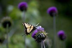Tiger Swallowtail Butterfly Nectaring ocidental em uma flor roxa brilhante do cardo imagens de stock