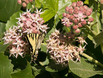 Tiger Swallowtail Butterfly ocidental na flor comum do Milkweed Imagens de Stock