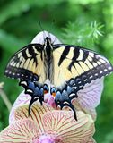 Swallowtail butterfly. A tiger swallowtail Butterfly on an orchid flower royalty free stock image